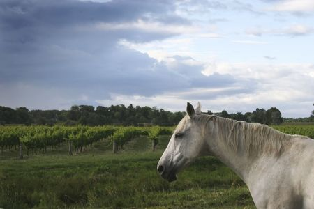 A horse stands guard over a vineyard