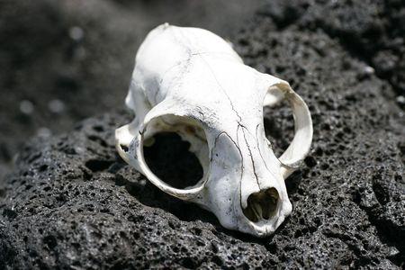 aotearoa: An animal skull bleached by the sun on Rangitoto Island, Hauraki Gulf, New Zealand.