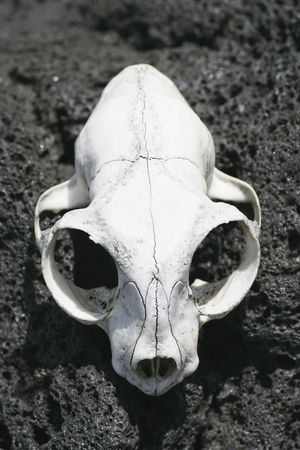 eye socket: An animal skull bleached by the sun on Rangitoto Island, Hauraki Gulf, New Zealand