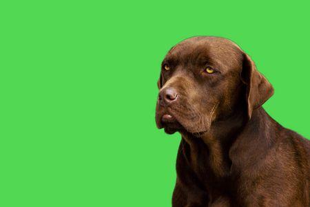 drool: Labrador dog sits and sulks