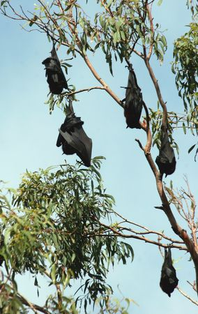 Fruit bats are frugivorous or nectarivorous, i.e., they eat fruits or lick nectar from flowers. Often the fruits are crushed and only the juices consumed. The teeth are adapted to bite through hard fruit skins. Most fruit bats have large eyes, allowing th Stock Photo