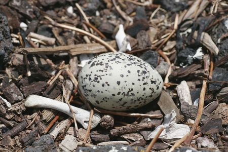 Blackback Gull egg in a nest. Breeding colony on Rangitoto Island, Hauraki Gulf, New Zealand.  photo