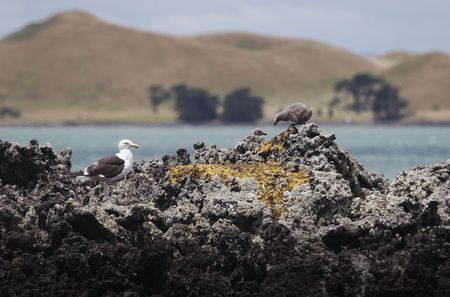 scoria: Shots of the Blackback Gull breeding colony on Rangitoto Island, Hauraki Gulf, New Zealand.