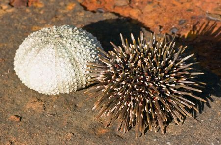 invertebrate: The New Zealand sea urchin (or kina in the Maori language), Evechinus chloroticus, is endemic to New Zealand and certain sub-antarctic islands. On the left is the shell and on the right the living invertebrate with spines.