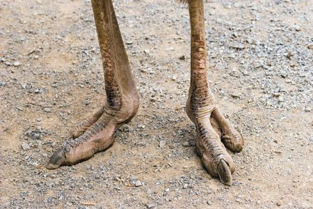 The incredibly powerful looking feet of an ostrich