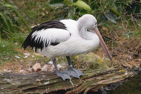pelecanidae: A pelican (Pelecanus conspicillatus) sits on a log by a stream