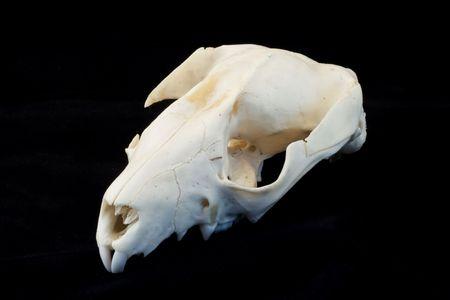 A rat skull isolated on black