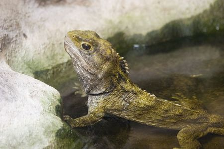 reptillian: A Tuatara rests in a pool at the National Aquarium of New Zealand Stock Photo