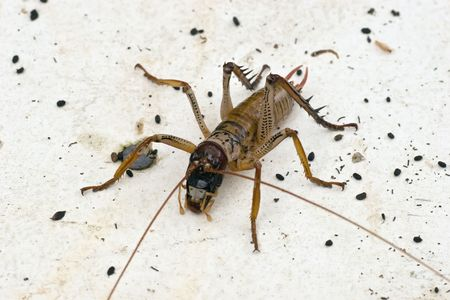 Weta are large by insect standards, some species among the largest and heaviest in the world. Their physical appearance is that of a cross between a cockroach and a cricket with the addition of large legs. Weta have survived virtually unchanged since the