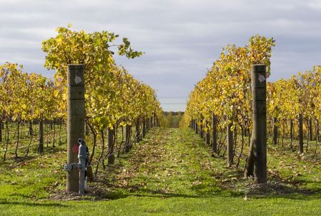 Grape vines in Hawkes Bay, New Zealand Stock Photo