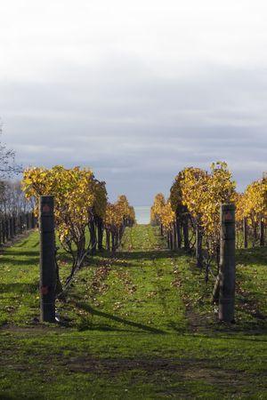 aotearoa: Grape vines in Hawkes Bay, New Zealand Stock Photo