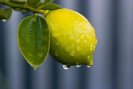 Early morning dew on a lemon tree in Haumoana, Hawkes Bay, New Zealand. Stock Photo