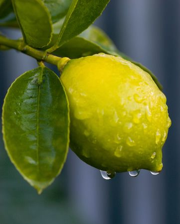 lime tree: Early morning dew on a lemon tree in Haumoana, Hawkes Bay, New Zealand