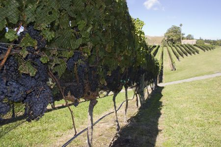 Grapes ready for Harvest, Havelock North, Hawke's Bay Stock Photo - 2567926