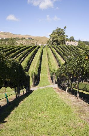 Grapes ready for Harvest, Havelock North, Hawkes Bay