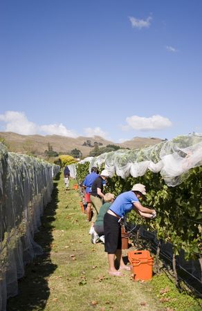 Grapes being harvested, Havelock North, Hawkes Bay photo