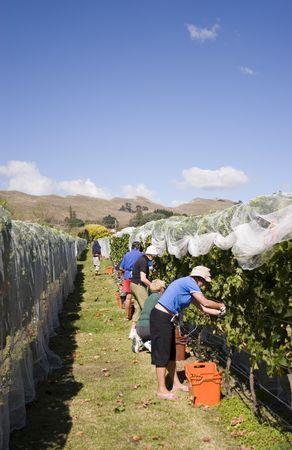aotearoa: Grapes being harvested, Havelock North, Hawkes Bay