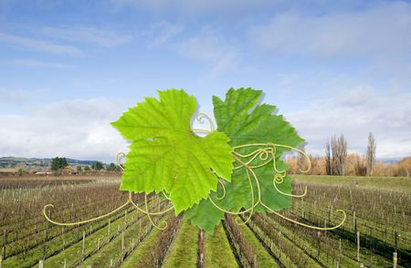 Grape leaves on a background of bare grape vines Stock Photo - 2567694