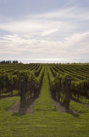 Grape vines at Haumoana, Hawke's Bay, New Zealand Stock Photo - 2567695