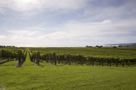 Grape vines growing by the sea in Haumoana, Hawke's Bay, New Zealand Stock Photo - 2567775