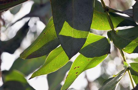 Light plays through gum leaves on a gum tree. Stock Photo