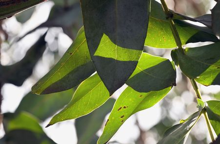 Light plays through gum leaves on a gum tree. Stock Photo
