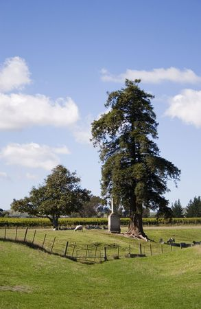 A Macrocarpa tree and chimney in the middle of a vineyard in Havelock North, Hawke's Bay Stock Photo - 2567777