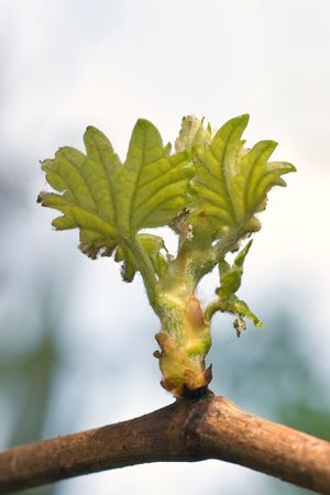 Spring buds sprouting on a grape vine in Hawkes Bay, New Zealand