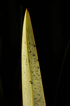 new zealand flax: A single flax leaf with early morning dew is isolated on a black background