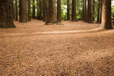 Te: Redwoods in Te Mata Peak Park, Hawkes Bay, New Zealand