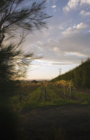 Sunset over a vineyard in Hawke's Bay, New Zealand Stock Photo - 2567742