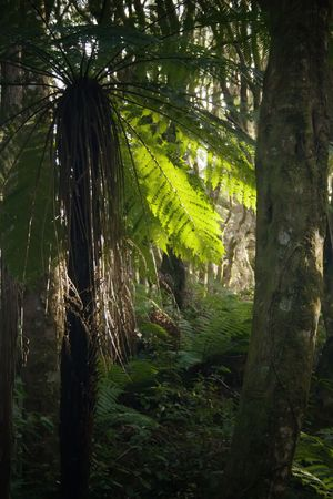 silver fern: Cyathea dealbata, or the silver tree fern or silver fern (Kaponga or Ponga in the Maori language), is a species of medium-sized tree fern, endemic to New Zealand. This fern is known to grow to heights of 10 m or more. The crown is dense, and the fronds te Stock Photo