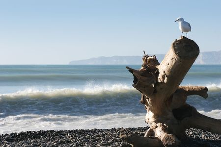 A seagull looks over his domain from a washed up log on Haumoana Beach, Hawkes Bay, New Zealand