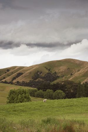 moons: A lone sheep moons the viewer. Rural scene Hawkes Bay, New Zealand. Stock Photo