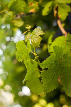 New growth on the grape vine. Spring in Hawke's Bay, New Zealand Stock Photo - 3879270