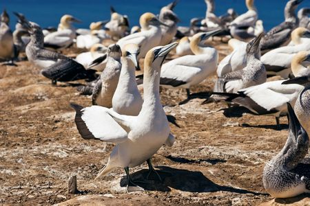Gannets at Cape Kidnappers Gannet Colony, Hawkes Bay New Zealand. Cape Kidnappers is the largest land based colony in the world.