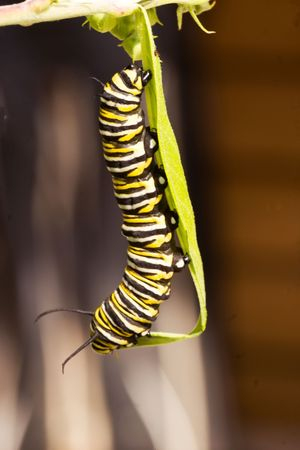 A series of images showing the life cycle of a Monarch Butterfly Stock Photo