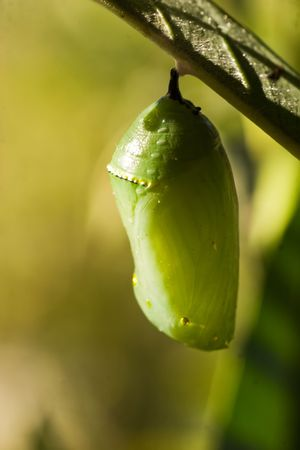 Una serie de imágenes que muestra el ciclo de vida de una mariposa Monarca Foto de archivo - 4698349