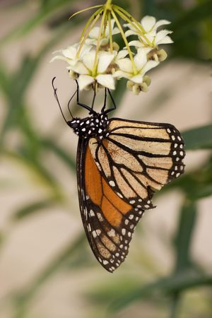 A series of images showing the life cycle of a Monarch Butterfly photo