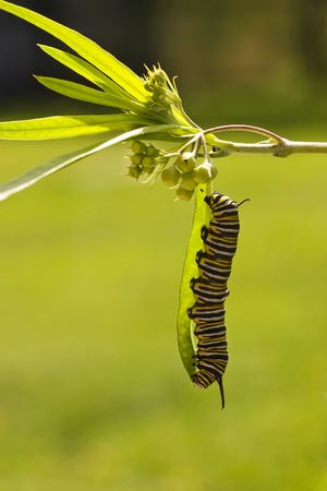aotearoa: A series of images showing the life cycle of a Monarch Butterfly Stock Photo