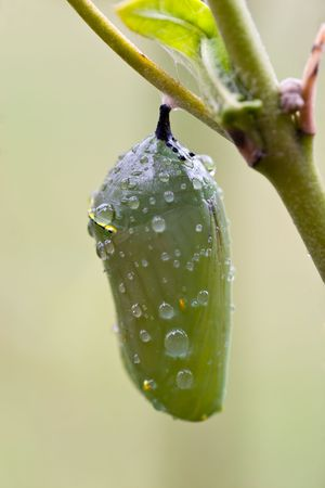 Early morning dew drops rest on a monarch butterfly chrysalis