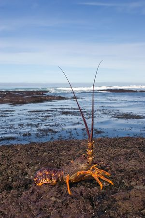 A crayfish sits on the reef on a stretch of beach on the East Coast of Southern Hawkes Bay. Between Porangahau and Whangaehu Beaches.