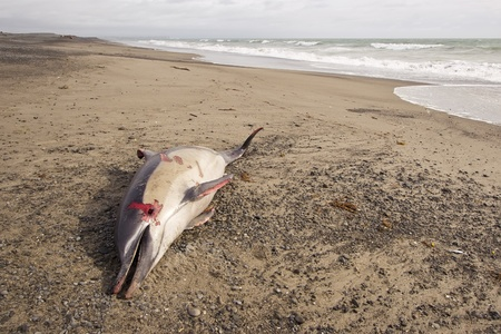 A dolphin is found washed up on Haumoana Beach, Hawkes Bay, New Zealand
