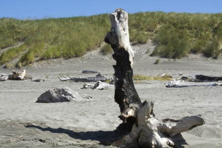 ashore: Burnt driftwood washed ashore on a beach with sand dunes in the background