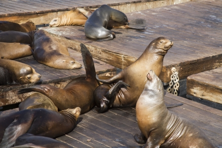 California Sea Lions scratching itself on a pier soaking up the sun