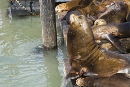 Male California Sea Lions watching over some sleeping females on a pier soaking up the sun 版權商用圖片