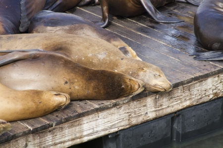 soaking: California Sea Lions sleeping on a pier soaking up the sun