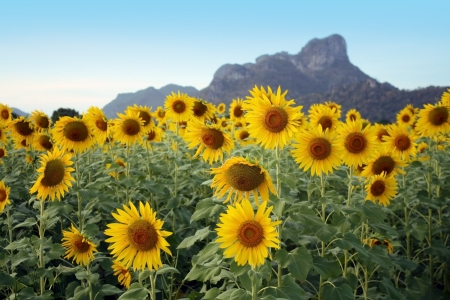 Sunflower with mountain and blue sky in Thailand photo