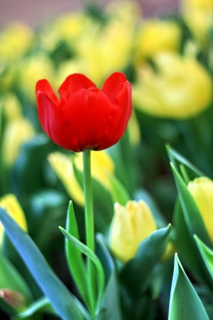 Red Tulip blooming among yellow tulip photo