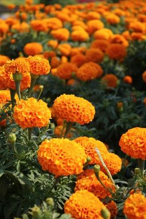 ringelblumen: Orange Ringelblumen im Garten